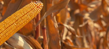 Maïs grain n°2