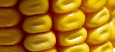 Vivez en direct la campagne maïs grain